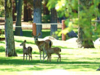 Wildlife Lake Almanor